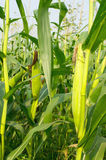 Corn field 2. Corn field  farm nature plants and tree Stock Images
