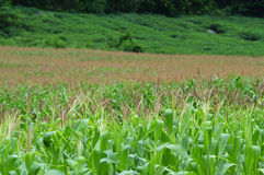 Corn field. And corn flower Stock Photo