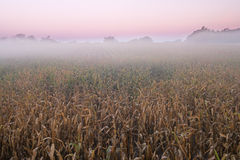 Corn Field in Fog at Dawn Royalty Free Stock Images