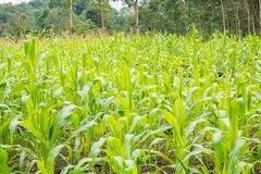 Corn Field in Foot of a Mountain. Ready to harvest by farmers stock images
