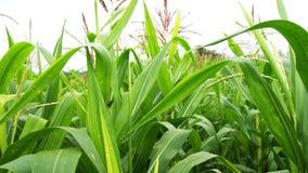Corn Field. Field of fresh green corn plants Royalty Free Stock Image