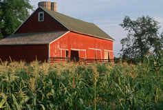 Corn field in front of red barn stock photography