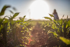Corn field. A girls silhouette on a corn field Royalty Free Stock Photos