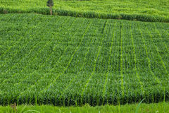Corn field. Green corn field in Chiangmai at Northern of Thailand Royalty Free Stock Photo