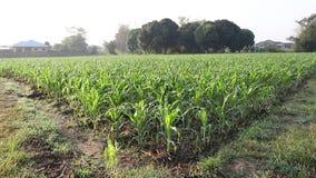 Corn field. Corn in a green field,dolly shot stock video footage