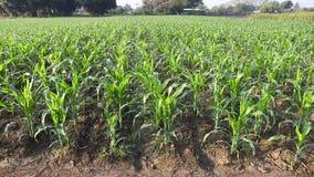 Corn field. Corn in a green field,dolly shot stock video