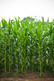 Corn field. With Corn green growing in farmland agriculture Stock Image