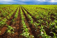 Corn field. Green corn field growing in sunlight Royalty Free Stock Photography
