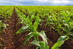 Corn field. Green corn field growing in sunlight Stock Photo