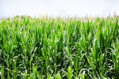 Corn in field Stock Photography