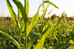 Corn field. Green corn field at sunset, close Royalty Free Stock Photo