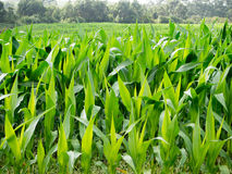 Corn Field. Green field of young corn near to the beach Royalty Free Stock Image