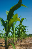Corn field growing Royalty Free Stock Images
