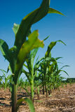 Corn field growing Stock Photography