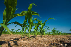 Corn field growing Royalty Free Stock Photos