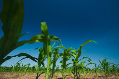 Corn field growing Stock Image