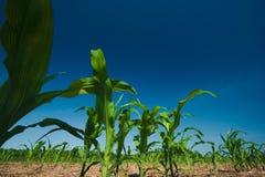 Corn field growing Stock Image