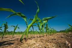 Corn field growing Stock Photos