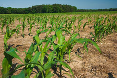 Corn field growing Stock Images