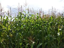 Corn field. Growing corn plants and cloudy sky royalty free stock image
