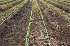 Corn field growing with drip irrigation Stock Photos