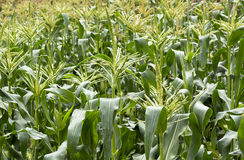 Corn field. With growing grain Stock Images