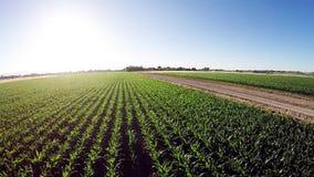 Corn field growing in rows stock video footage
