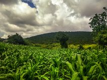 Corn field in Guerrero, Mexico. Rural landscape. royalty free stock image