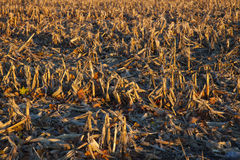 Corn Field after harvest Royalty Free Stock Images