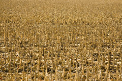 Corn Field After the Harvest Stock Images