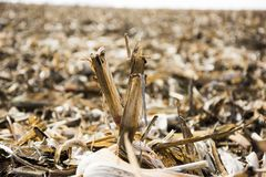 Corn field after harvest Royalty Free Stock Photography