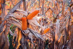 Corn Field  harvest Royalty Free Stock Images