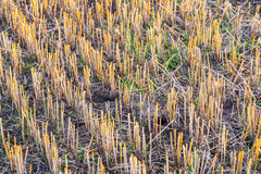 Corn field after harvest Royalty Free Stock Photos