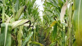 Corn field before harvest. Ripe corn cobs in row behind. Detail view submerged between corn. Corn field before harvest. Ripe corn cobs in row behind. Detail stock footage