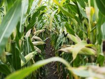 Corn field before harvest. Ripe corn cobs in row behind. Detail view submerged between corn. Royalty Free Stock Photography