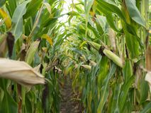 Corn field before harvest. Ripe corn cobs in row behind. Detail view submerged between corn. Stock Images