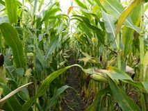 Corn field before harvest. Ripe corn cobs in row behind. Detail view submerged between corn. Stock Photos