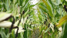 Corn field before harvest. Ripe corn cobs in row behind. Detail view submerged between corn. Corn field before harvest. Ripe corn cobs in row behind. Detail stock video footage