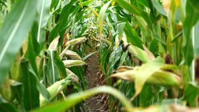Corn field before harvest. Ripe corn cobs in row behind. Detail view submerged between corn. Corn field before harvest. Ripe corn cobs in row behind. Detail stock video