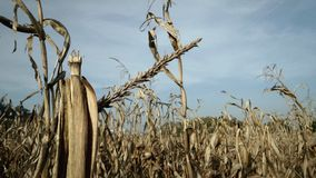 Corn field in harvest season. Broken corn leaf after harvesting Royalty Free Stock Image