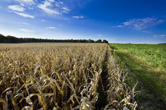Corn field at harvest time Royalty Free Stock Photos