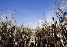 Corn field at harvest time Stock Photo
