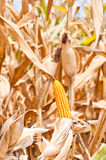 Corn field at harvest time Stock Photography