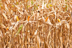 Corn field at harvest time. Thailand Stock Photo