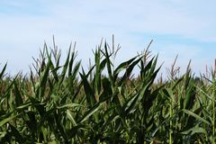 Corn Field At Harvest Time Royalty Free Stock Image