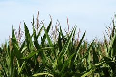 A corn field at harvest time Stock Image