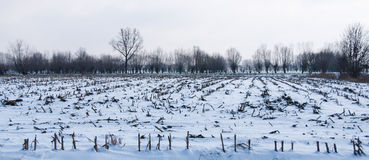 Corn field after harvest in winter season Royalty Free Stock Images