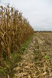 Corn Field Harvested by Specialized Machine. Corn Field Crop Harvested by Specialized Machine, Half Done royalty free stock photo