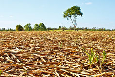 Corn field after harvesting. In Thailand Stock Image
