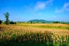 Corn field hill blue sky Stock Photos